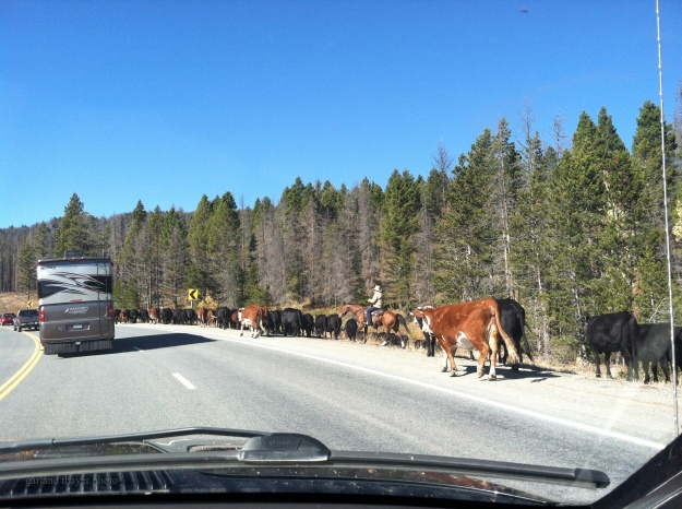 cattle on macdonald