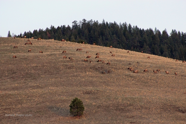 Elk South Hills Missoula