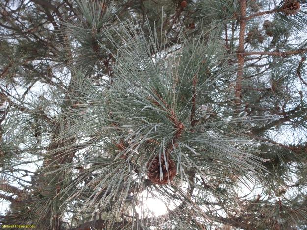 frost-in-ponderosa